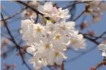 昆陽池桜の写真