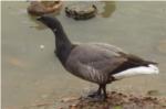 黒雁の写真
