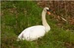 白鳥の写真