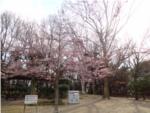 野鳥観察橋近くの広場の桜の写真