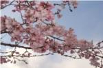 昆陽池公園桜の写真